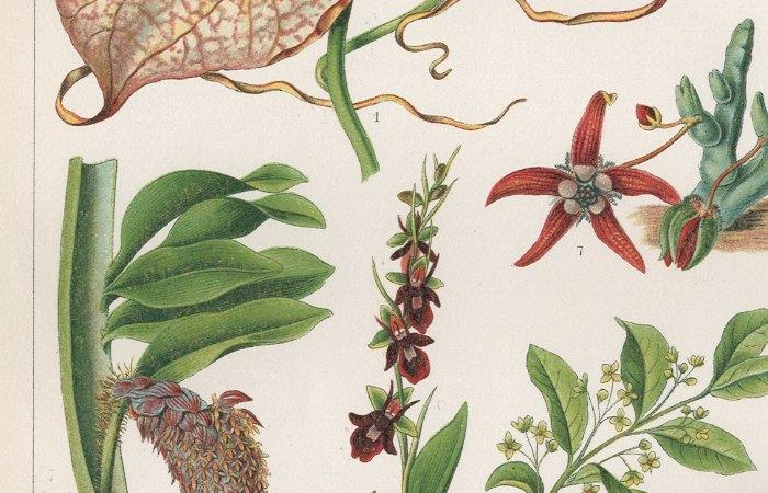 fliegen schneckenblumen pflanzen botanik chromo bxz billerantik. Black Bedroom Furniture Sets. Home Design Ideas