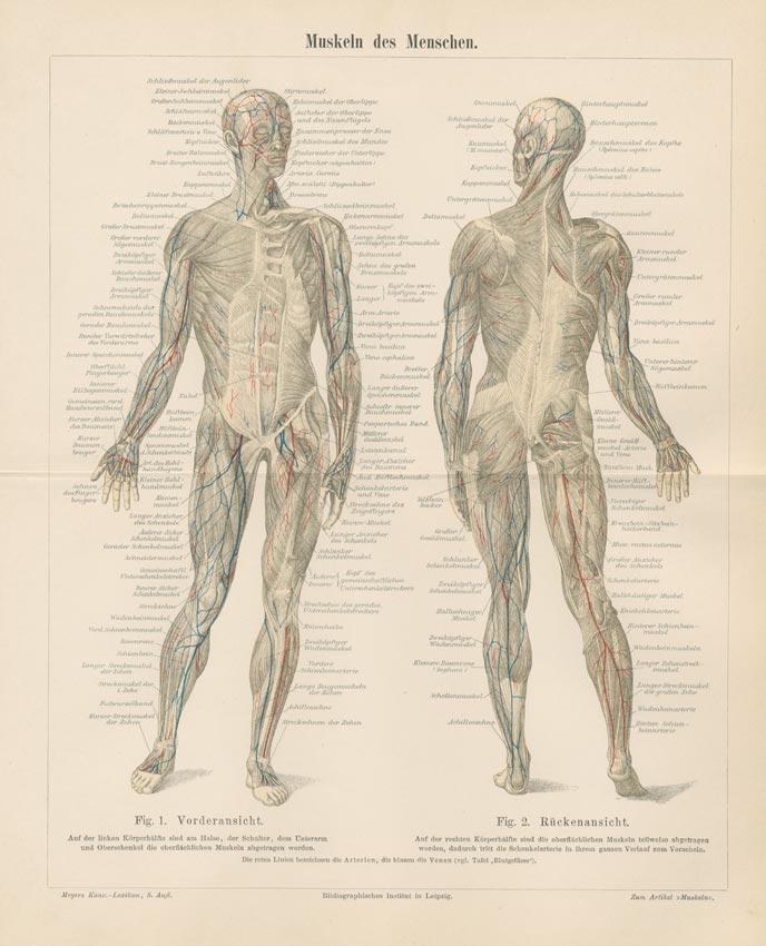 Muskeln des Menschen Venen Arterien Original Stich Mxz - Billerantik